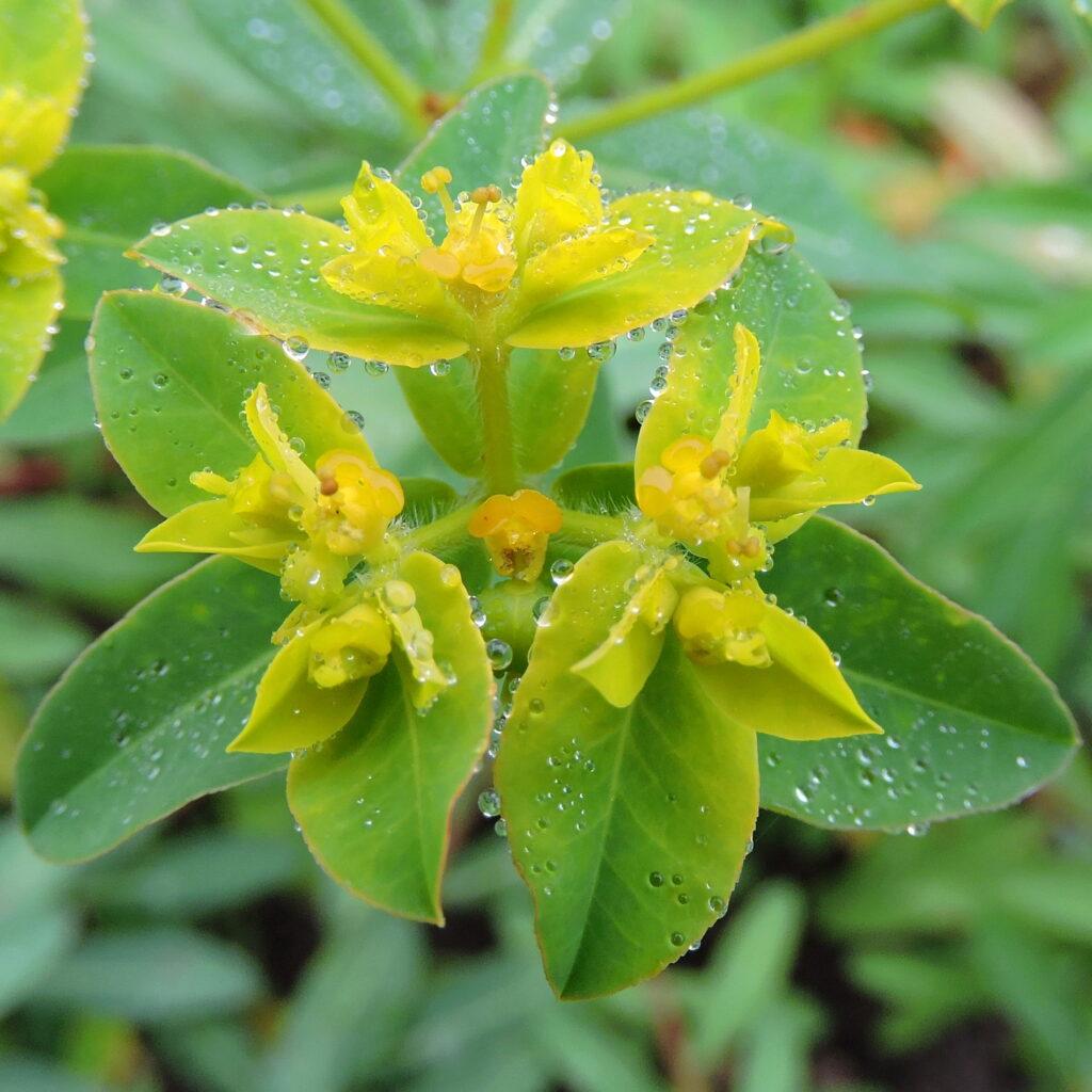 beranekp_Euphorbia_corallioides_flickr