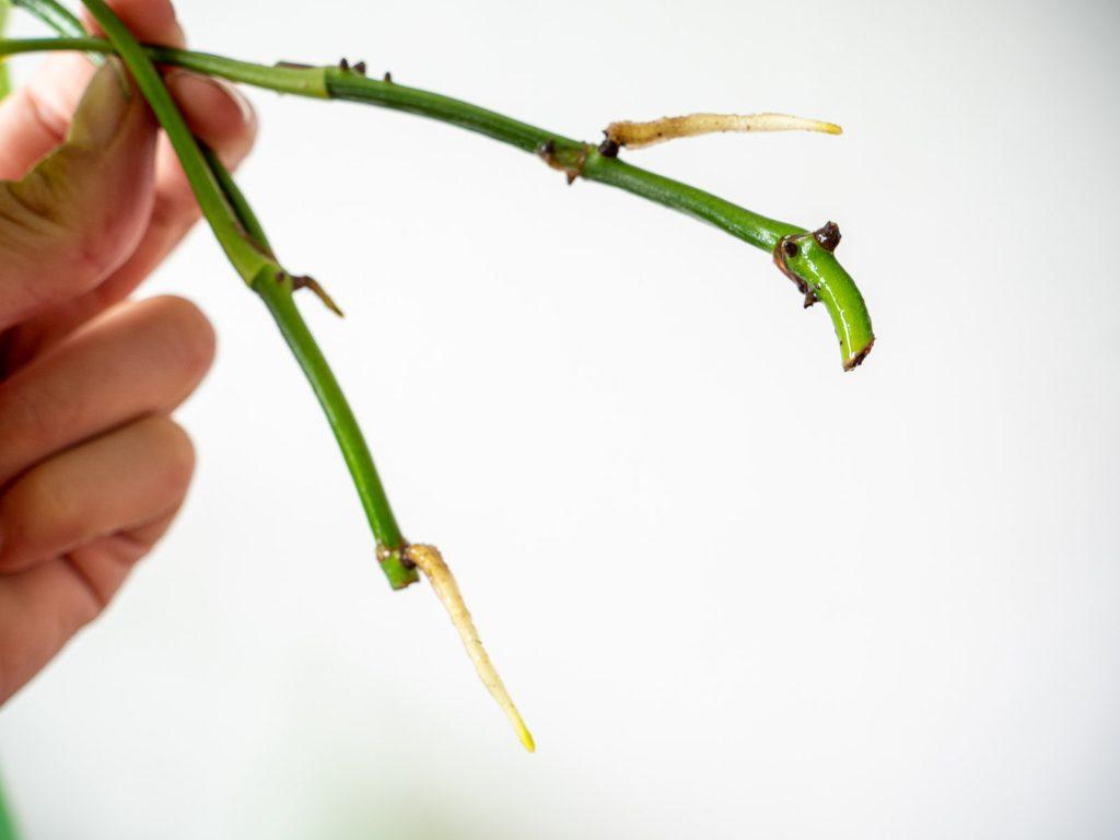 epipremnum-scindapsus-stekken-wortels