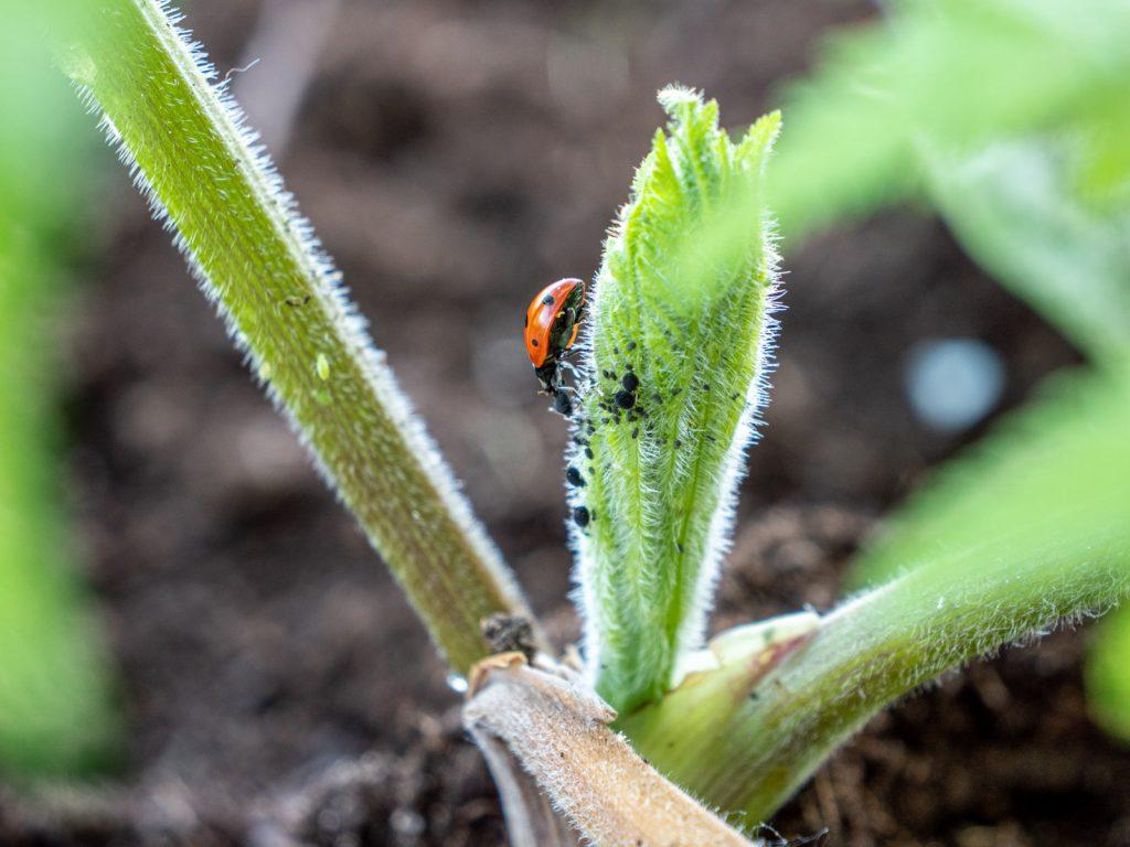 bladluis-lieveheersbeestje