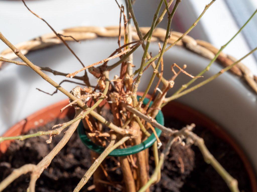 ficus-benjamina-verliest-blad