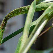 groene-beestjes-plant-bladluis