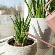 kamerplanten-voeding-water-haworthia