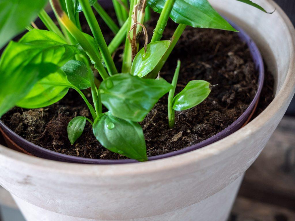 lepelplant-stekjes