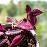 tradescandia-vaderplant-stekken