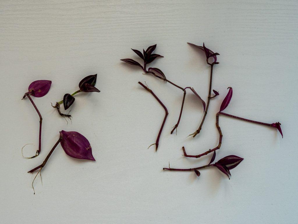 tradescantia-vaderplant-stekken-water
