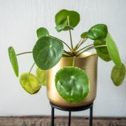 Pannenkoekenplant-Pilea-Peperomioides-verzorgen