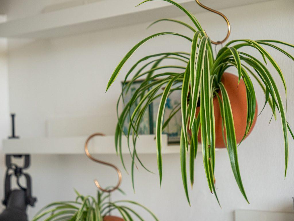 graslelie-chlorophytum
