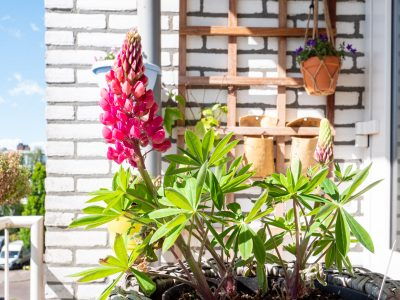 lupine-bloei-balkon-pot