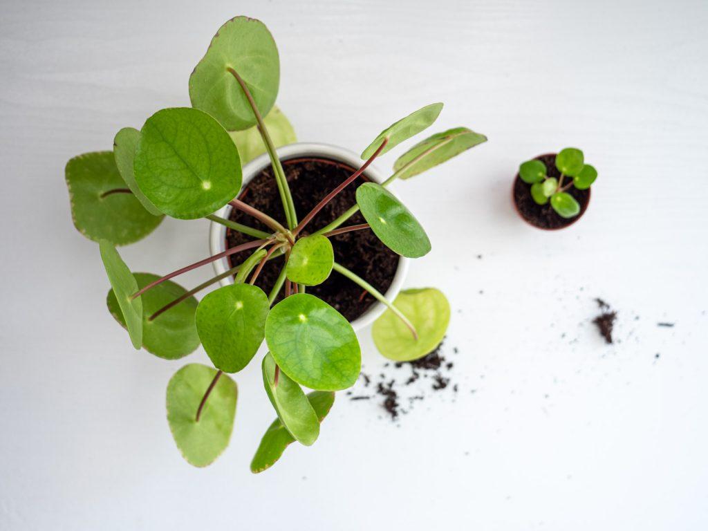 pannenkoekenplant-stekken