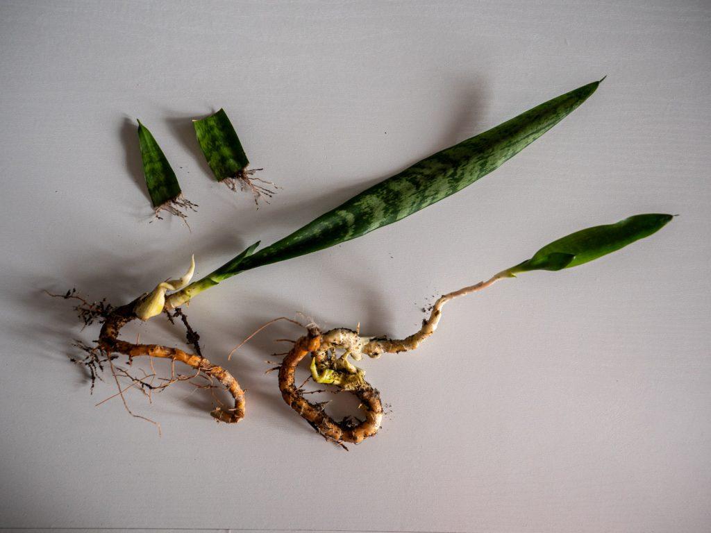 sansevieria-stekken-scheuren-bladstekken-water