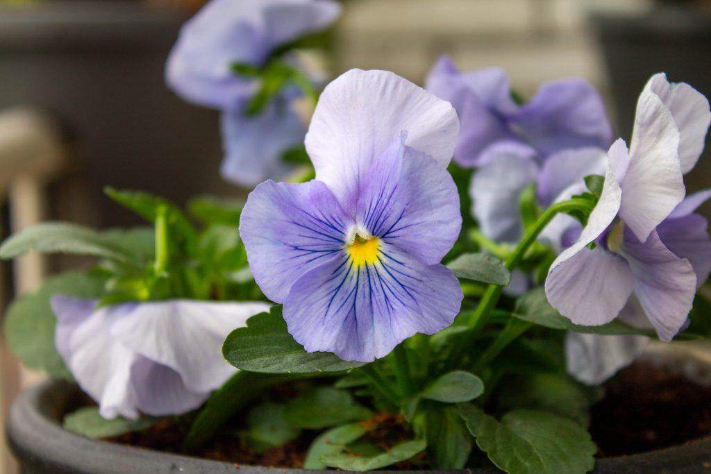 balkon-winterklaar-herfstbloeier-violen