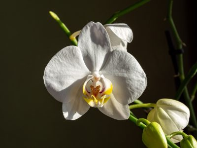 bloeiende-kamerplant-orchidee