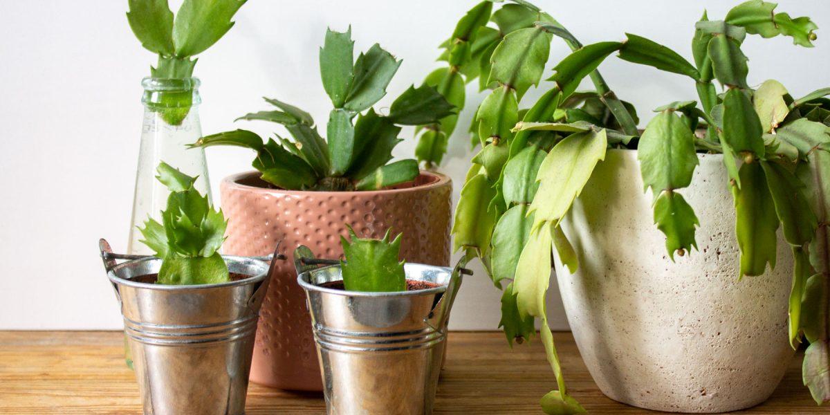 lidcactus-verzorging-stekken