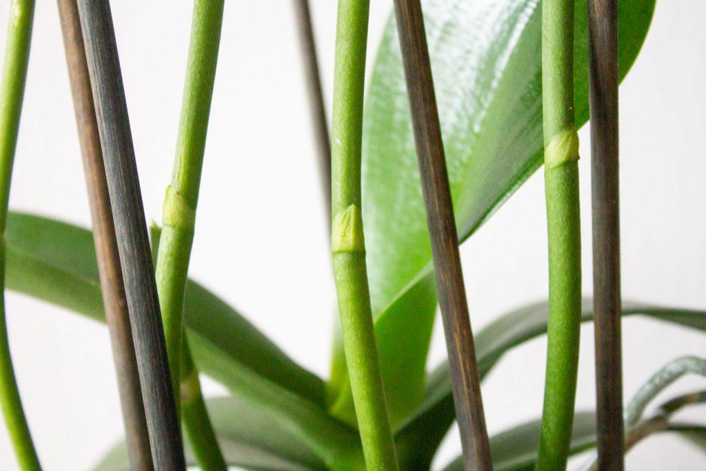 orchidee-uitgebloeid-snoeien