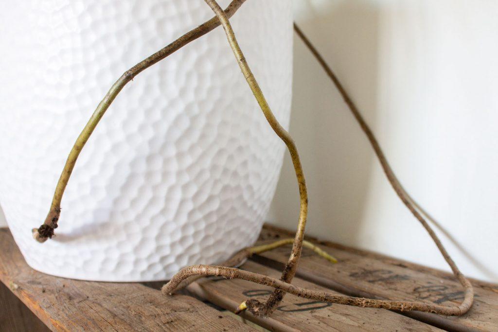 gatenplant-monstera-luchtwortels