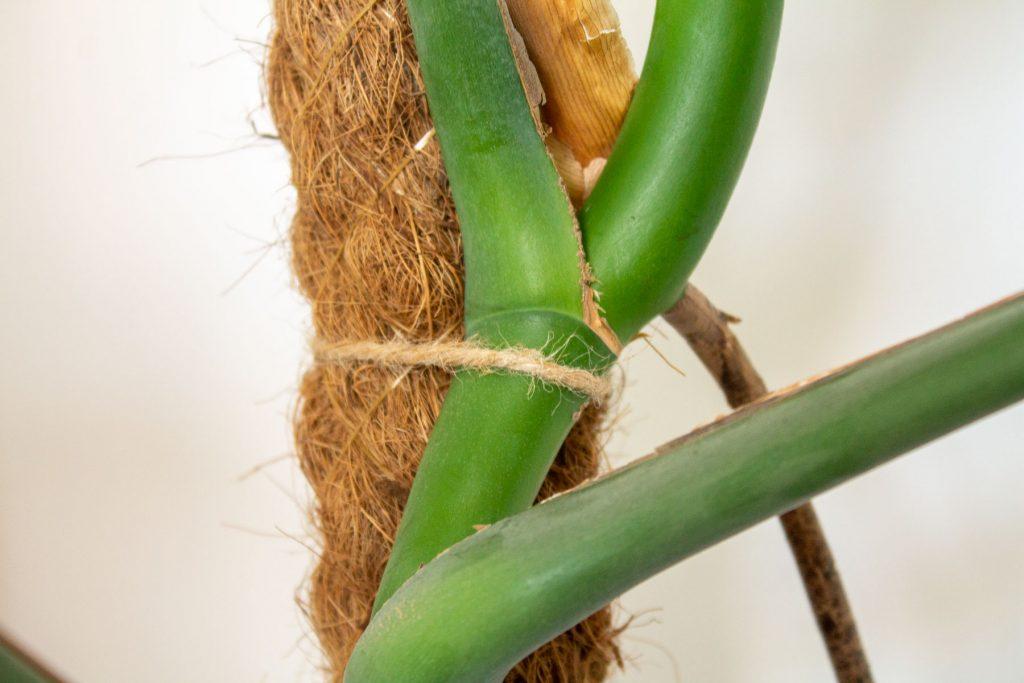 gatenplant-monstera-mosstok