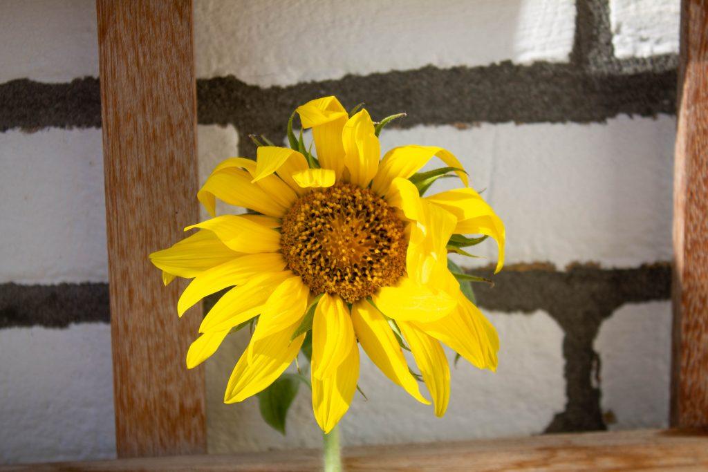 zonnebloemen-zonnebloem