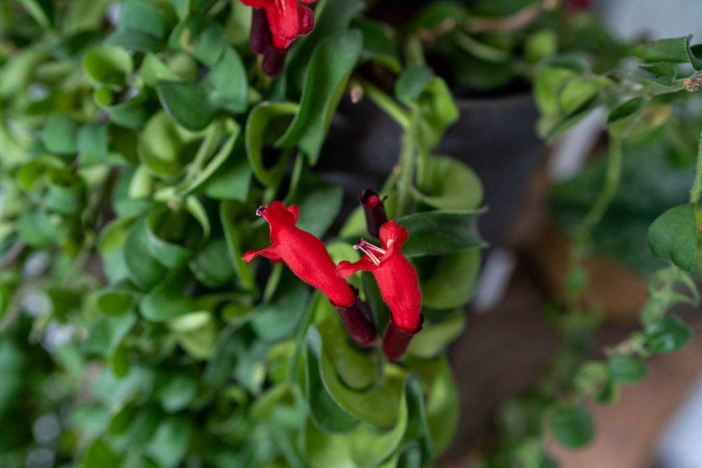 lipstickplant-aeschynanthus