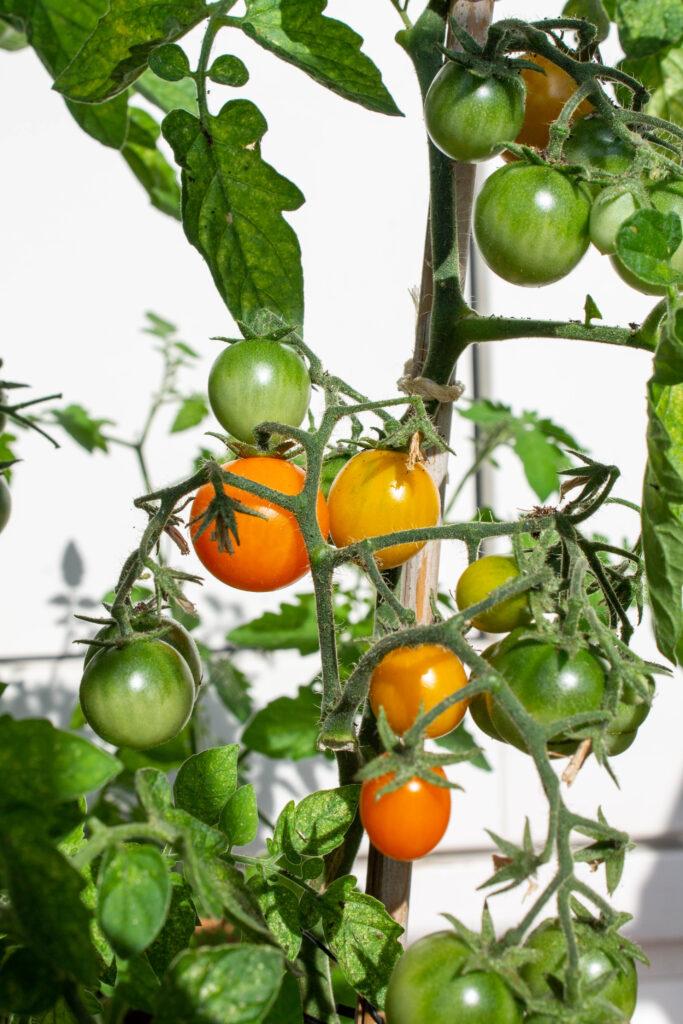 tomaten-cherrytomaten-kweken-balkon-1