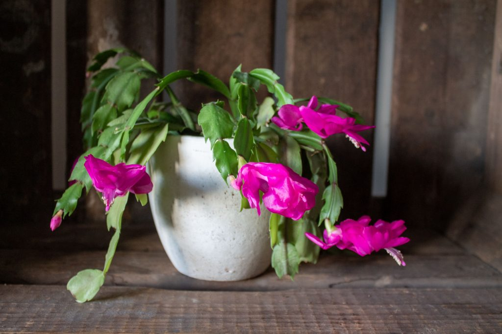 lidcactus-schlumbergera-bloei-bloemen-1