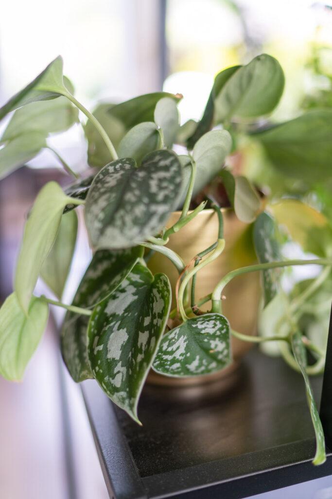 scindapsus-pictus